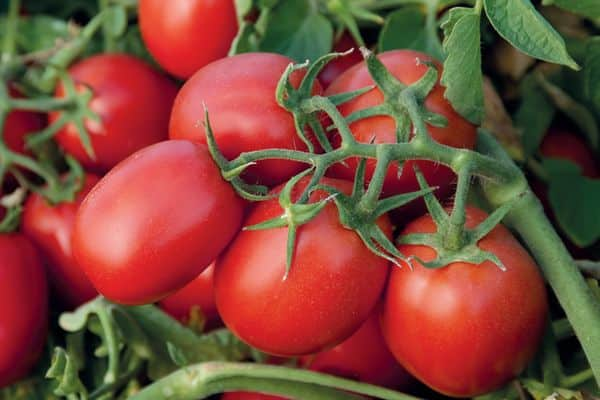 Длинные томаты