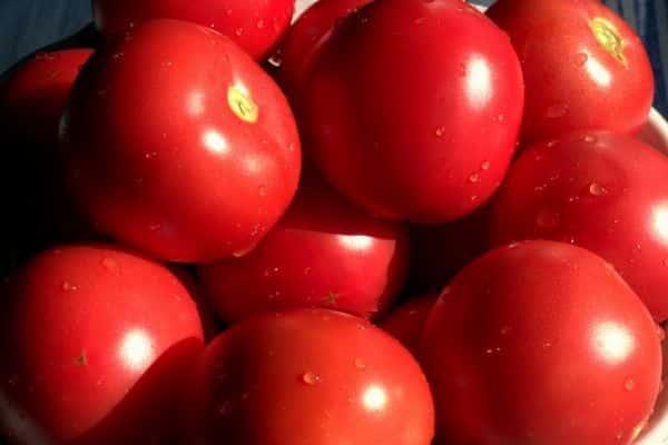 томаты багира уход