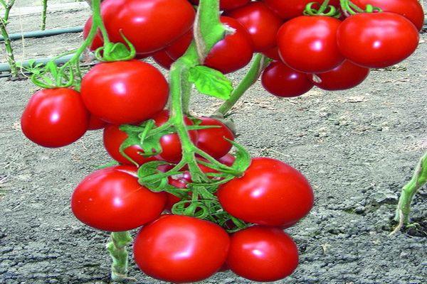 созревание урожая