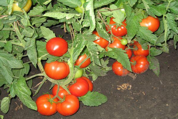 три сестры сорт томата