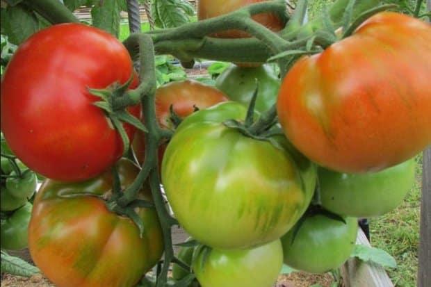 кусты томата Старосельский