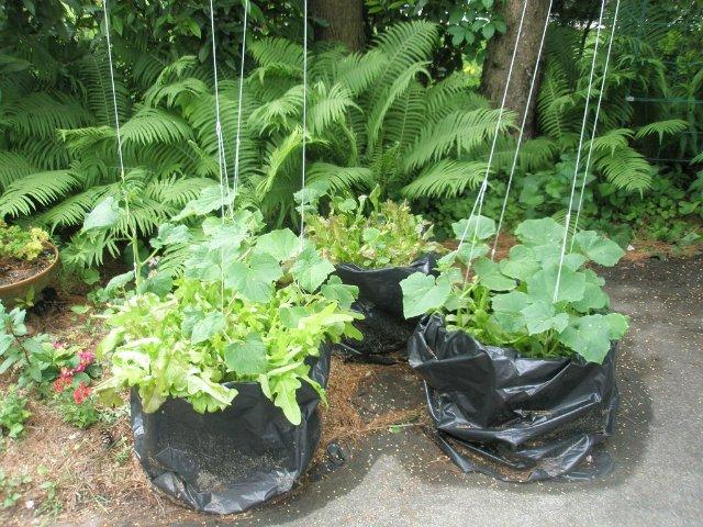 выращивание огурцов в пакетах