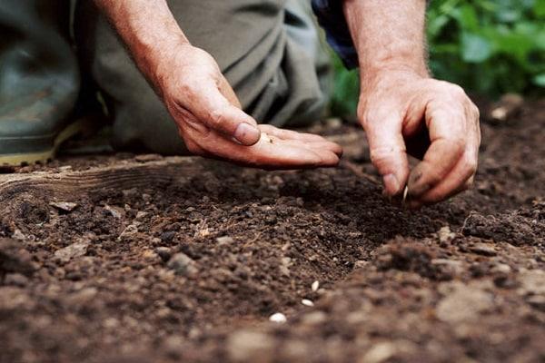 семенами в открытый грунт