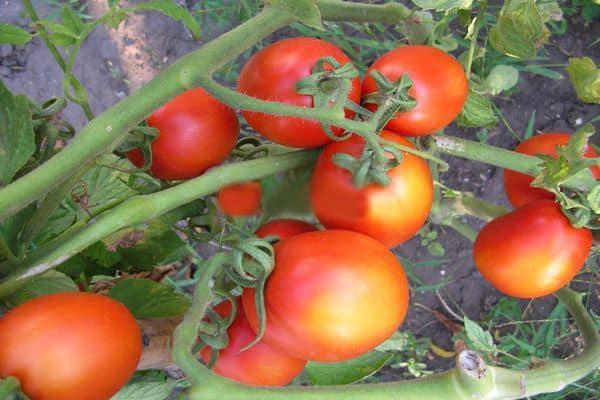 сорт томата лагидный