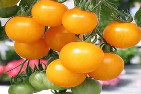 Характеристика и описание сорта томата Медовая гроздь