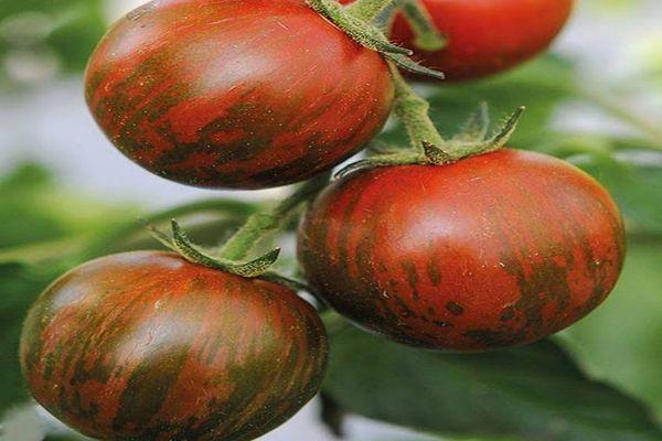 томаты полосатые