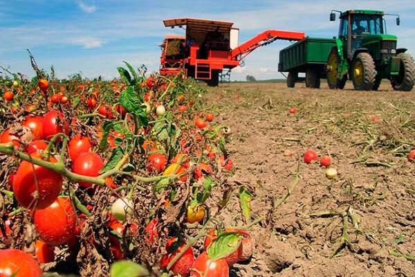 томаты в подмосковье