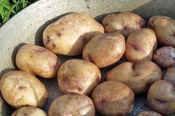 собранный картофель