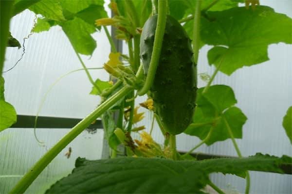 Описание сорта огурца Берендей f1, особенности выращивания и уход