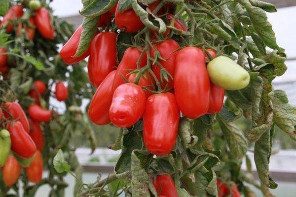томат перчик