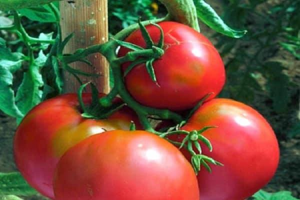 помидор воевода