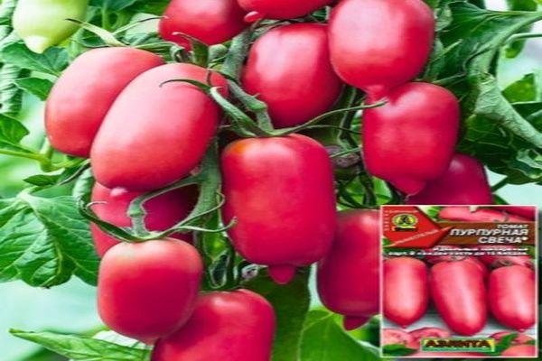 Описание сорта томата Пурпурная свеча, его урожайность и отзывы дачников