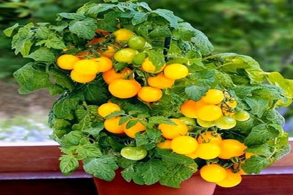 томаты балконные