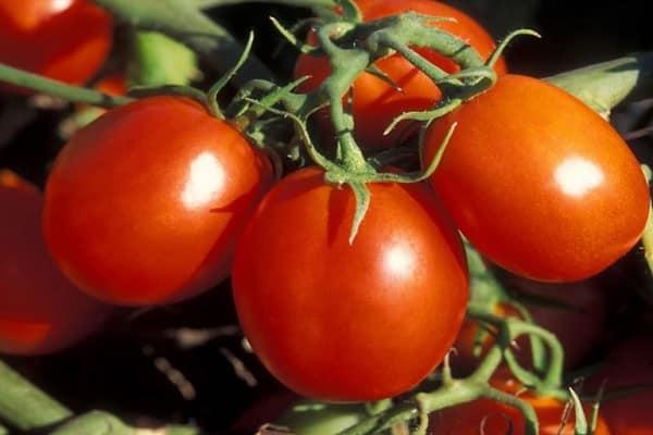 созревания и урожайность