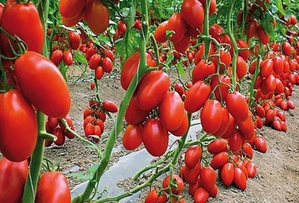 кусты томата Баловень судьбы