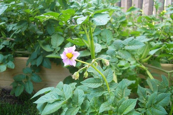 цветение картофеля в огороде