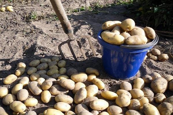 сортности картофеля