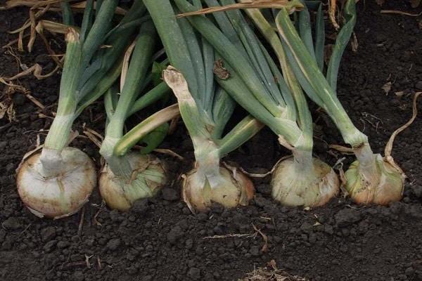 вегетация гибрида