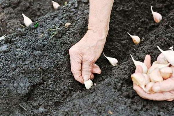 процесс посадки чеснока