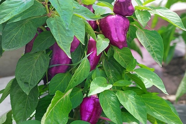 фиолетовых сортов