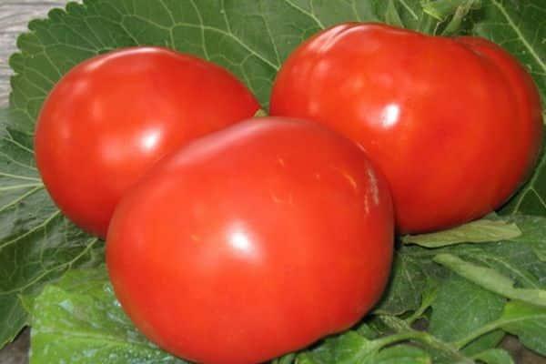 томата дородный