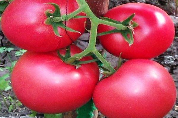 Описание сорта томата Грифон f1, его характеристики и выращивание