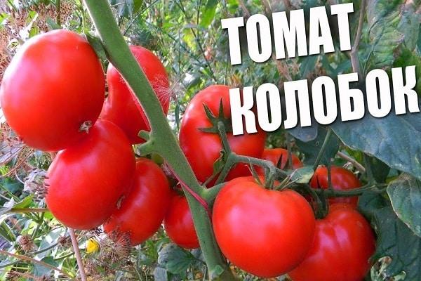 томат Колобок