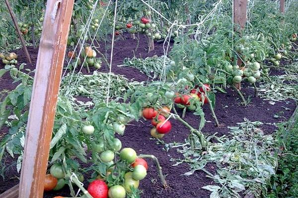 ранние помидорчики