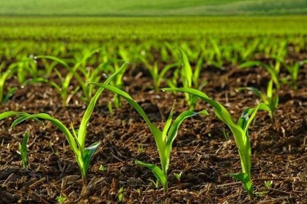 обработки кукурузы
