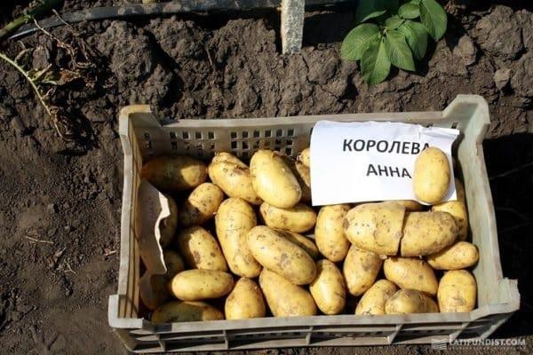 сорта картофеля