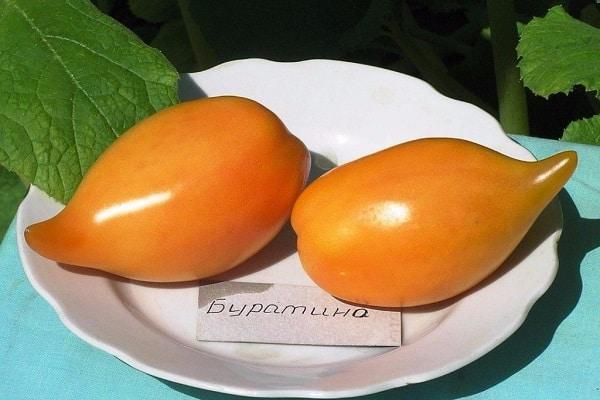 томат Буратино