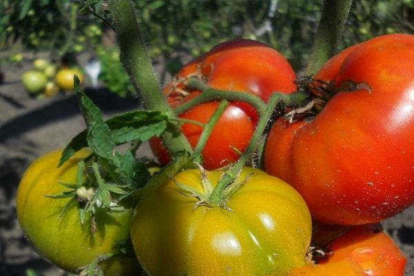 томаты на огороде