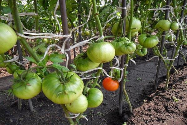 садят помидоры