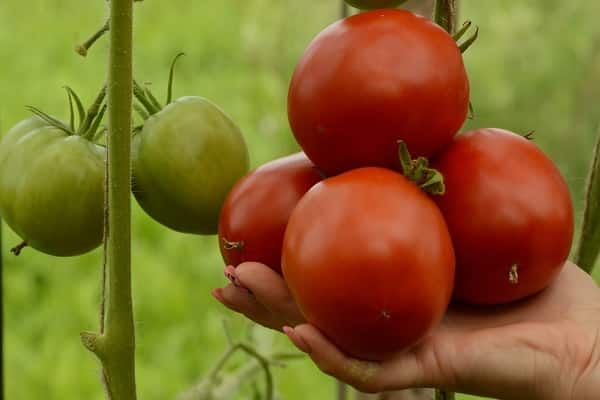 вкусными помидорками