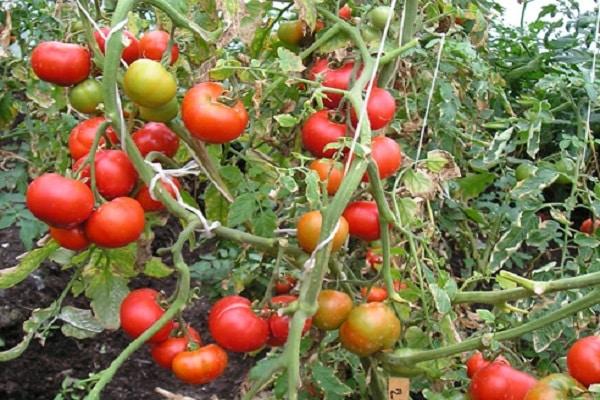 помидор колеблется