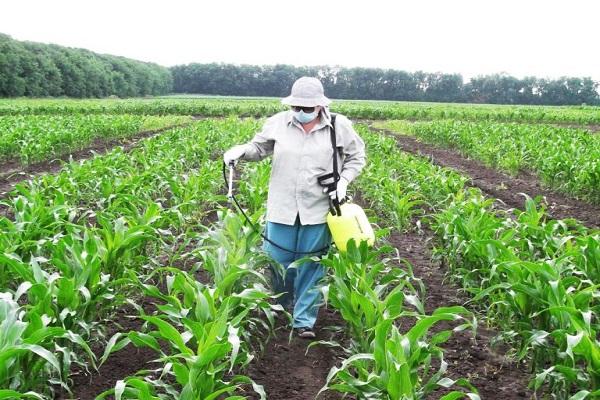 выращивании кукурузы