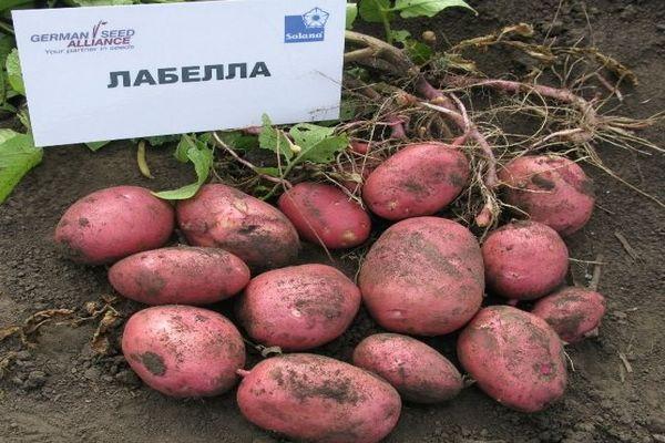 лабелла картошка