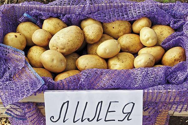 картошка лилея