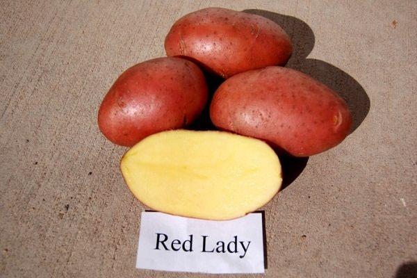 ред леди картошка
