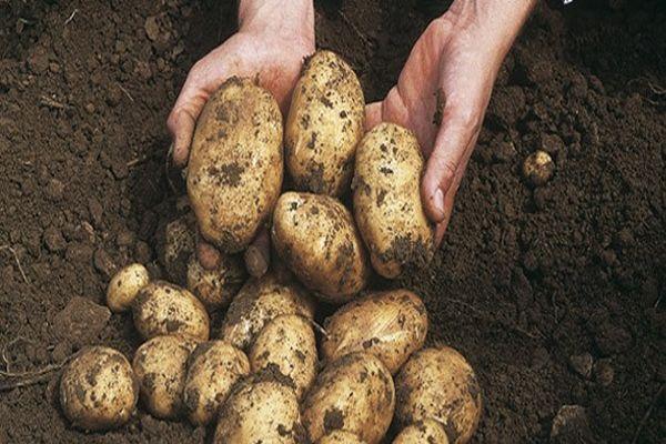 сорокодневка картошка