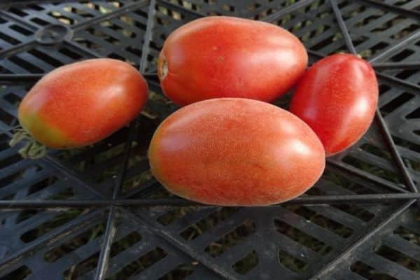 томат сорта мохнатый шмель