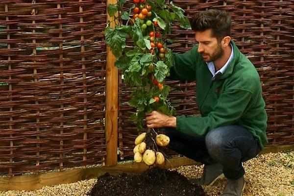 растения помидофель