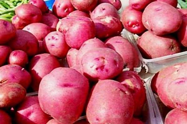 вредители картошки