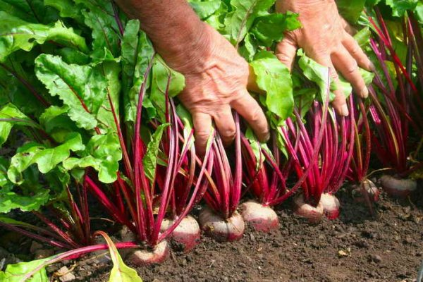 мужчина собирает урожай свеклы