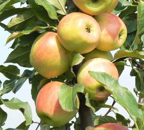 яблоня заря алтая