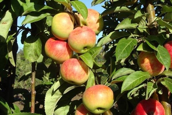 дерево яблони джин