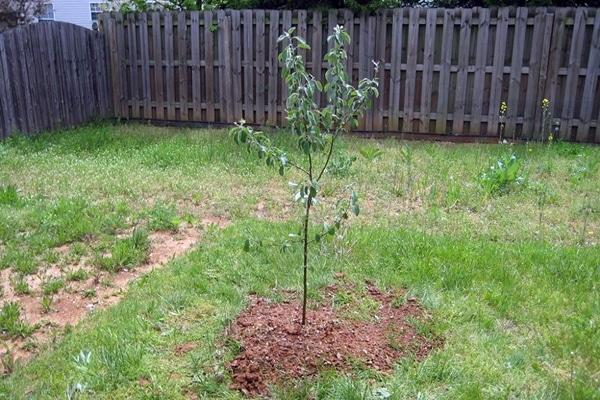 саженец яблони в огороде