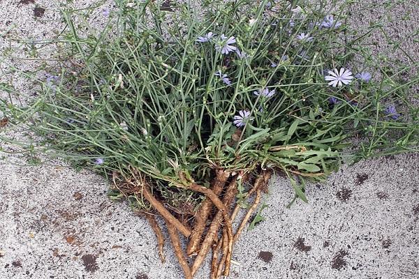 сушить корень