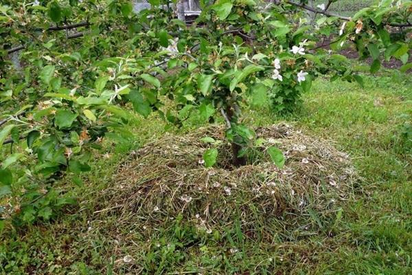 мульчированная яблоня