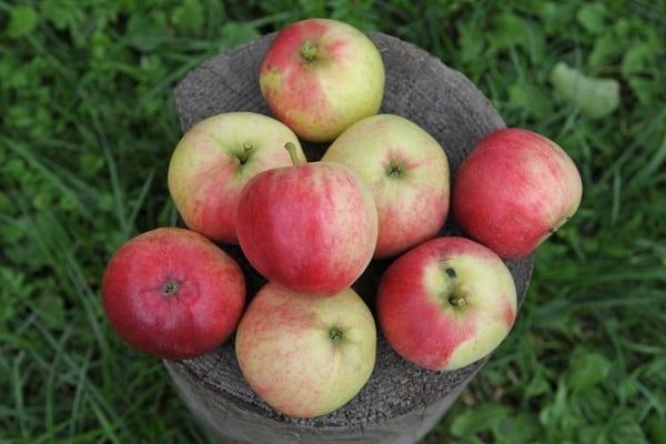 распространения яблони